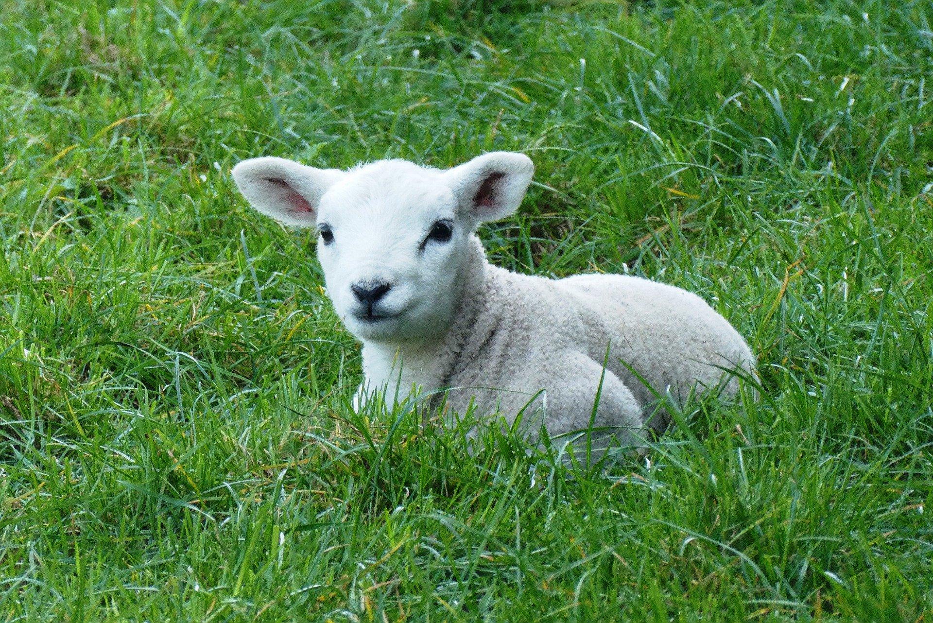 När lammen inte tystnar